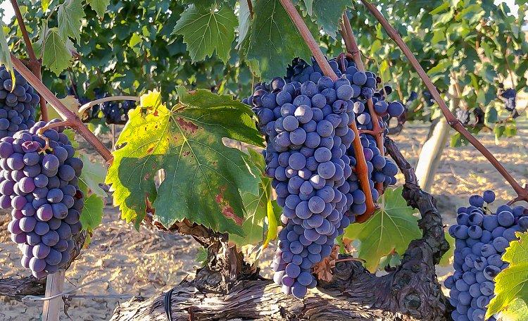 Morellino di Scansano gehört zu den großen italienischen Weinen. - Morellino di Scansano: ein ausgezeichneter Wein mit einer großen Geschichte.